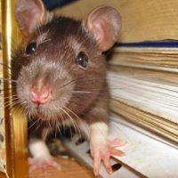 Новинка на рынке теплоизоляторов – утеплитель, который не грызут крысы и мыши