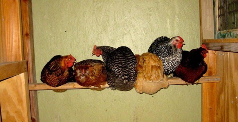 Необходимость в теплоизоляции сарая для кур